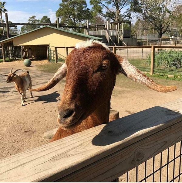 Goat at the Alabama Gulf Coast Zoo